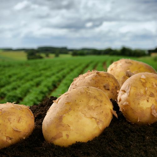 brambory.jpg